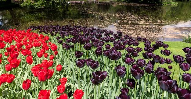 オランダ、リッセ、キューケンホフ公園のチューリップ畑 無料写真