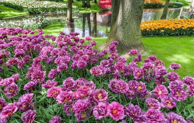 Поле тюльпанов в садах кёкенхоф, лиссе, нидерланды Бесплатные Фотографии