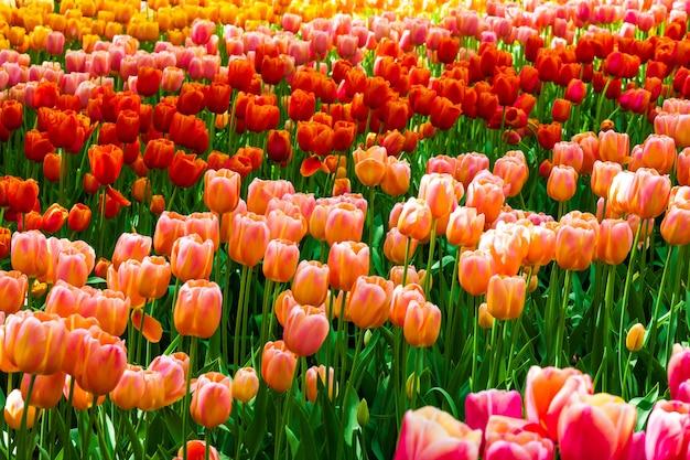 オランダ、リッセのキューケンホフ公園のチューリップ畑 無料写真
