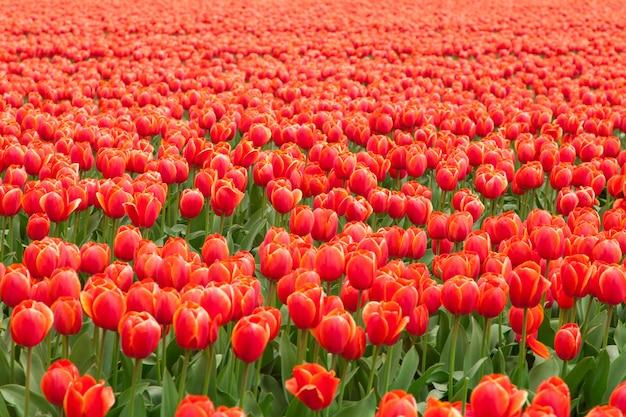 Tulip field in netherlands Premium Photo