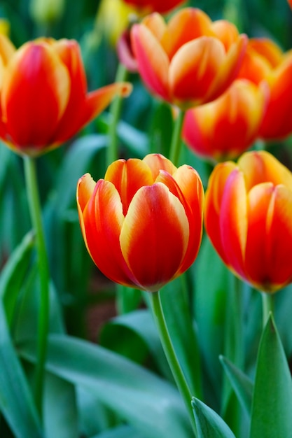 Tulip flower background, colorful tulips meadow nature in spring, close up Premium Photo