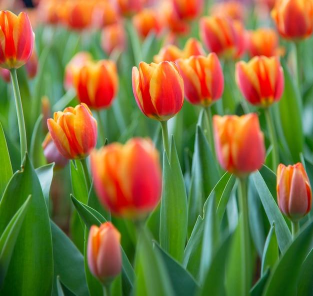 Tulip flower Premium Photo