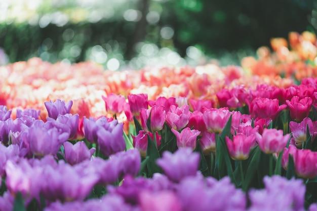 窓からの光とチューリップ(tulipa spp。l.)の花束。暖かい気持ちを与える Premium写真