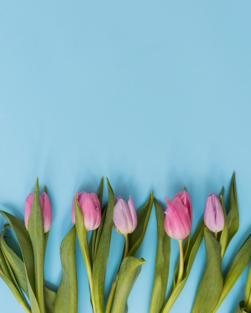 Tulips on blue background Free Photo