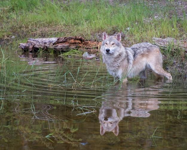Тундровый волк в воде с красивым отражением и расширяющимися круговыми волнами Premium Фотографии