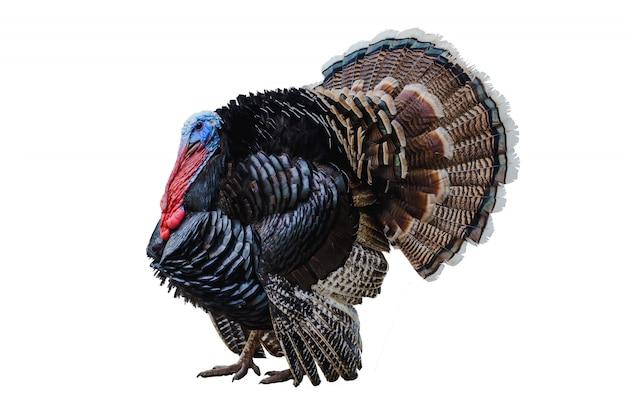 Turkey on a white Premium Photo