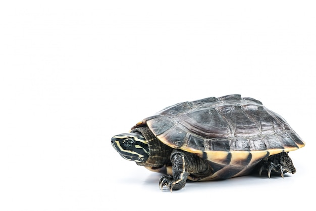 Turtle on isolate white background Premium Photo