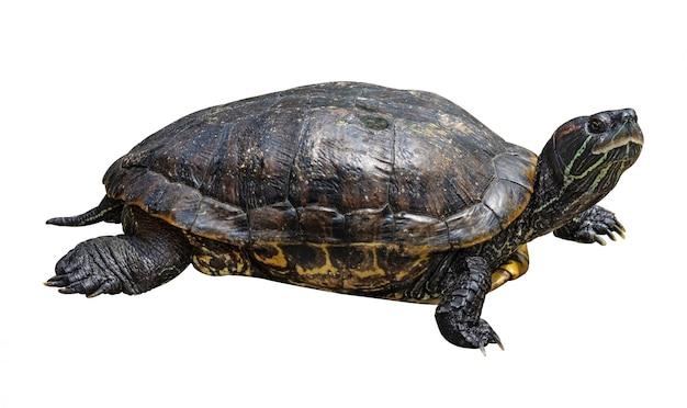 Turtle isolated on white background Premium Photo