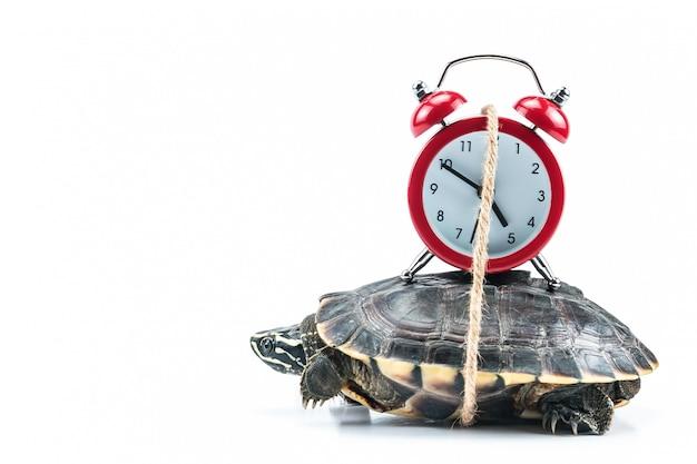 Turtle and red clock Premium Photo