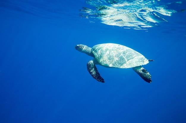 A turtle sitting at corals under water surface Premium Photo