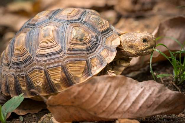 Turtle walks on the dry leaves in the forest Premium Photo