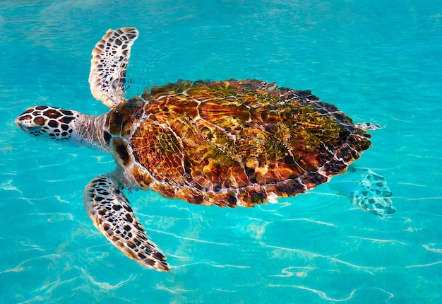 Turtles photomount in caribbean water Premium Photo