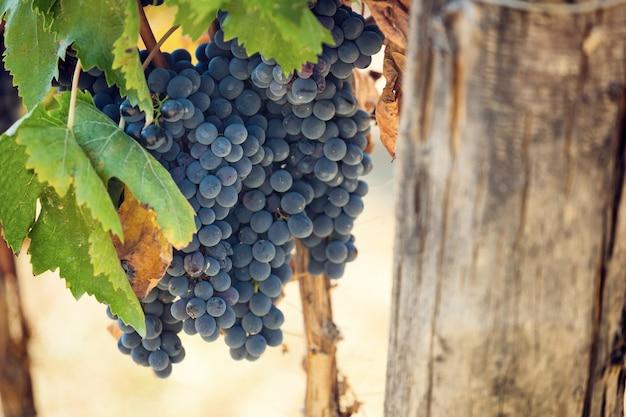 Tuscan vineyard with red grapes. Premium Photo