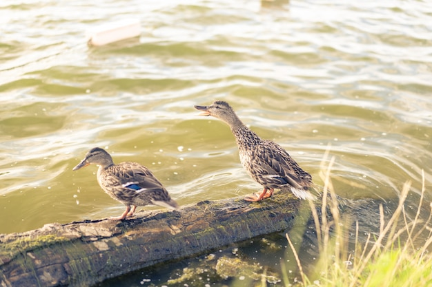 Two adult ducks stand on a log Premium Photo