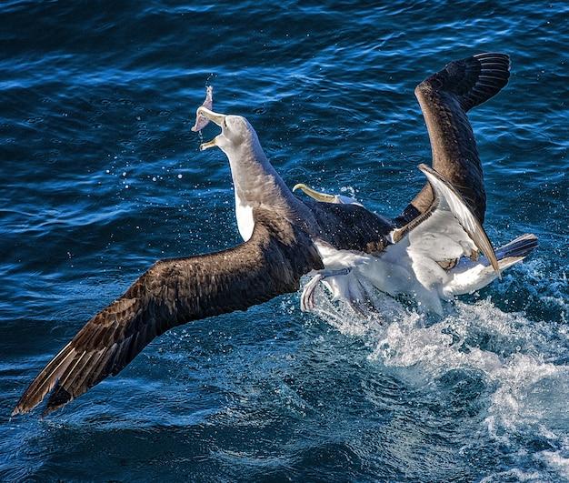 Два альбатроса дерутся за еду в океане в гавани веллингтона, новая зеландия Бесплатные Фотографии