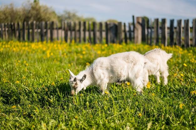 春に咲く草原を歩くヤギ2頭 Premium写真