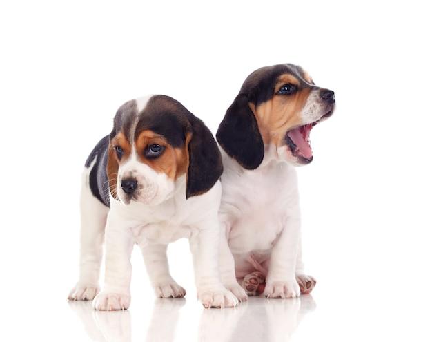 Two beautiful beagle puppies Premium Photo