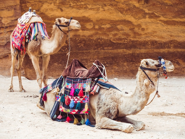 Two beautiful camels on the background of the rock Premium Photo