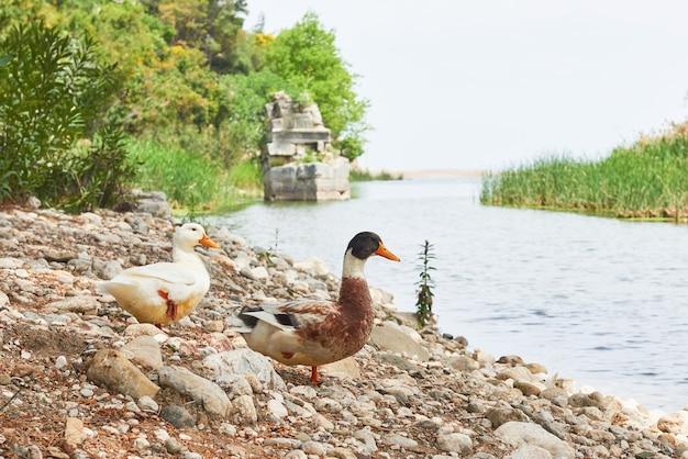 Две красивые утки на озере на скалах. Бесплатные Фотографии