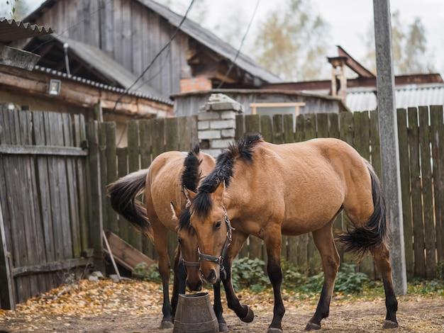 2頭の美しい純血種の馬がトラフから食べます。 Premium写真