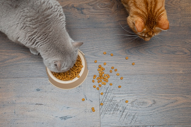 Two big cats gray and red eat dry cat food from a bowl. copyspace. Premium Photo