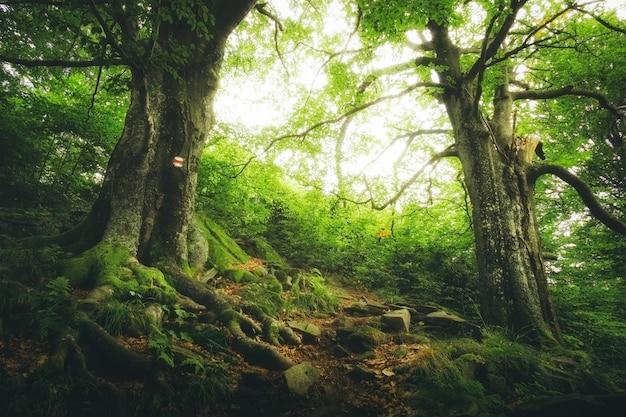 森の中に大きな根を持つ2つの大きな緑の木 Premium写真