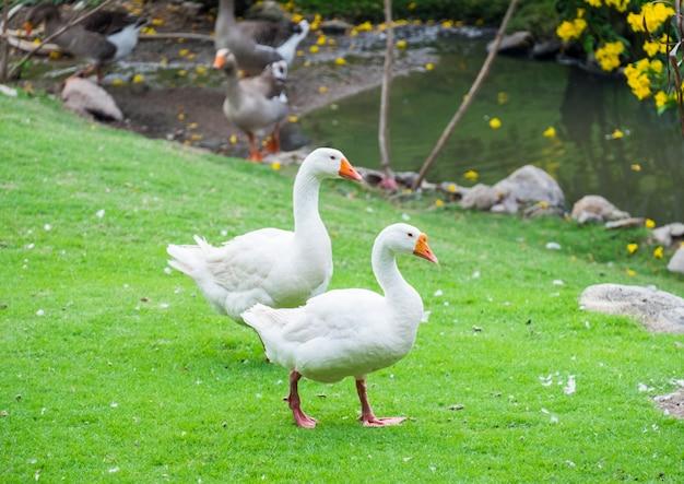 Two big white goose pets walking Premium Photo