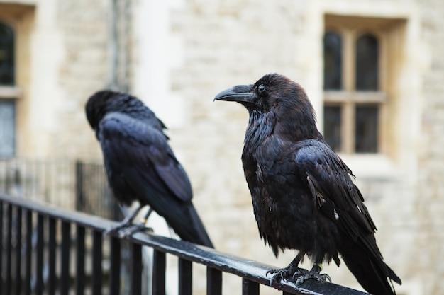 英国ロンドン塔にある2つの黒いワタリガラス。ワタリガラス(corvus corax)。 Premium写真