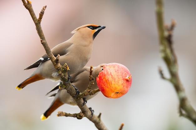 冬の自然の中で木に休む2つのボヘミアンレンジャク Premium写真
