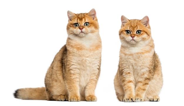 Two british shorthair sitting Premium Photo