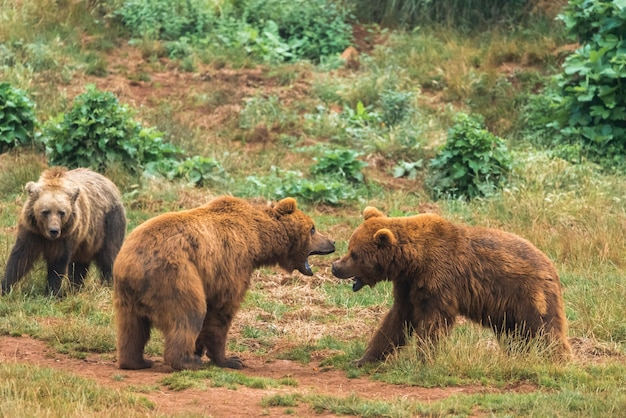 Two brown bear fight in a nature reserve Premium Photo