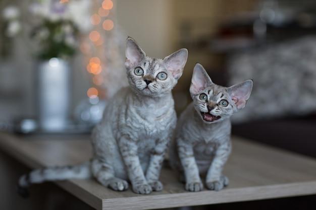 2匹の猫がテーブルに座っています。そのうちの1匹はニャーと鳴きます。 Premium写真