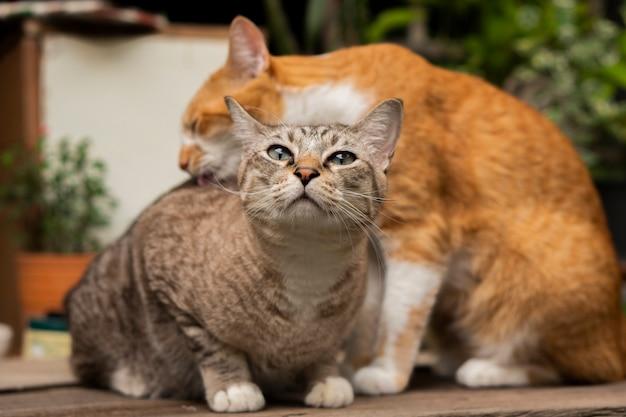 2匹の猫がテーブルの上でお互いをからかい、掃除している。 Premium写真