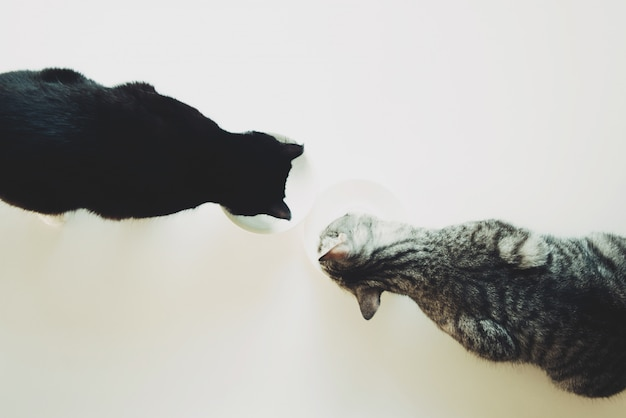 Two cats eat top view. pet friendship. Premium Photo