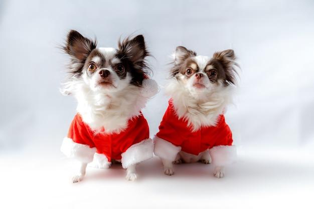 빨간 크리스마스 산타 의상을 입고 두 치와와 강아지 카메라를 살펴 봅니다. 흰색 배경에 고립. 프리미엄 사진