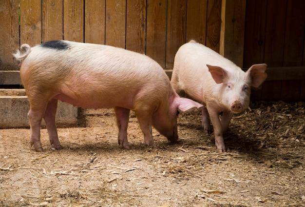 厩舎で2頭のきれいなピンクの国産豚 Premium写真