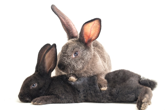 Premium Photo | Two cute black and gray rex rabbits on white background
