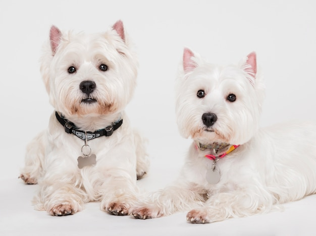2つのかわいい小型犬 無料写真