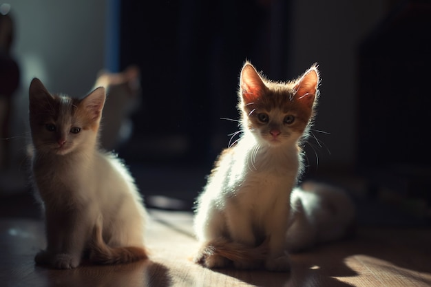美しい光の中で2匹のかわいい若い赤ちゃん赤い子猫 Premium写真