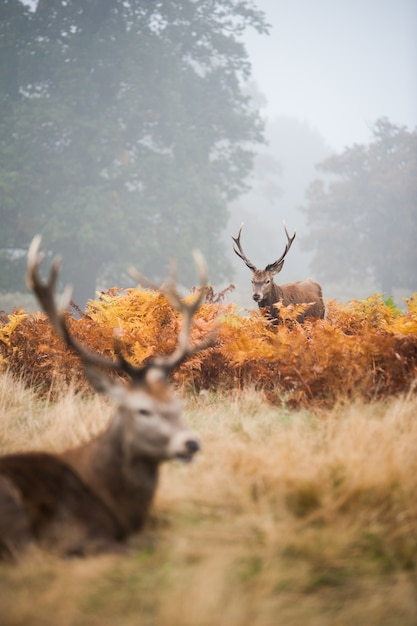 Two deer with beautiful horns in the foggy valley Free Photo