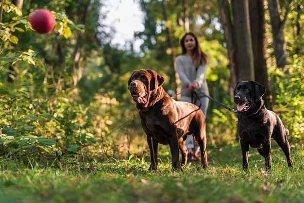 Two dogs looking at red ball in the air standing with pet owner Free Photo