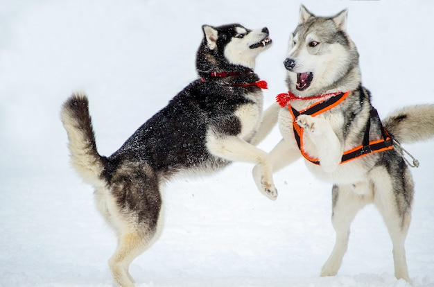 Two dogs of siberian husky breed play with each other  Photo