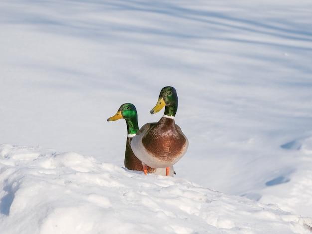 晴れた日に雪の中で2つのドレイク。 Premium写真