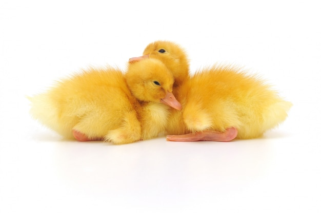 Two ducklings Premium Photo