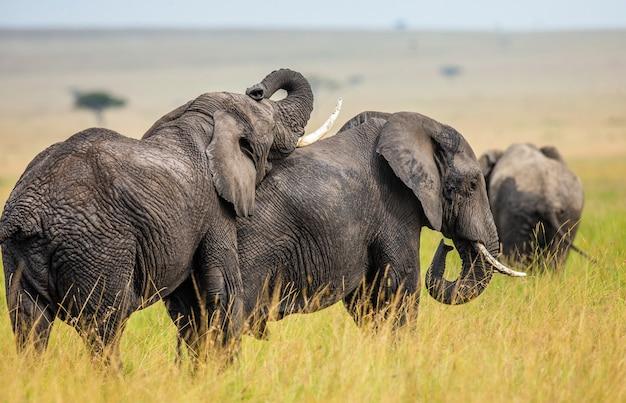 2頭の象がサバンナで互いに遊んでいます。 Premium写真