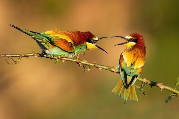 とげのあるローズヒップの小枝で領土を争う2人のヨーロッパハチクイ Premium写真