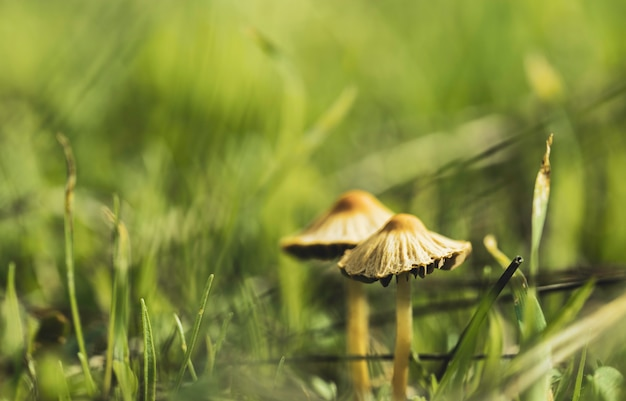 Two fungi from the fungi kingdom family among the forest grass Premium Photo