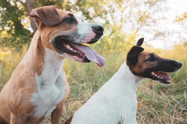 Two funny dogs outdoors. staffordshire terrier and smooth fox terrier puppy sit in the grass on a summer day Premium Photo