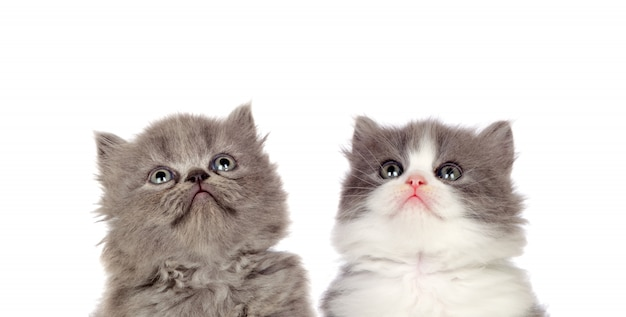 Two funny grey cats lookin up isolated on a white background Premium Photo