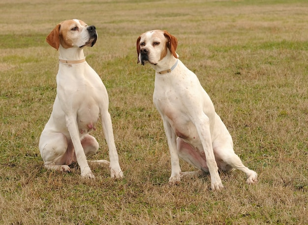 Two german shorthaired pointer dogs Premium Photo
